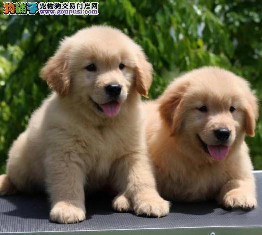 广州金毛幼犬一只多少钱 广州哪里有出售纯种金毛犬