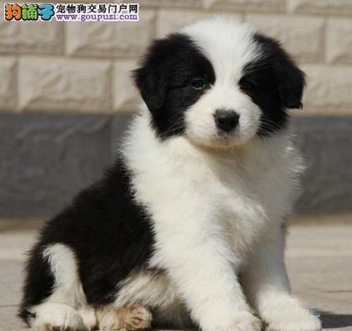 广州哪里有出售边牧幼犬 广州纯种边境牧羊犬价格