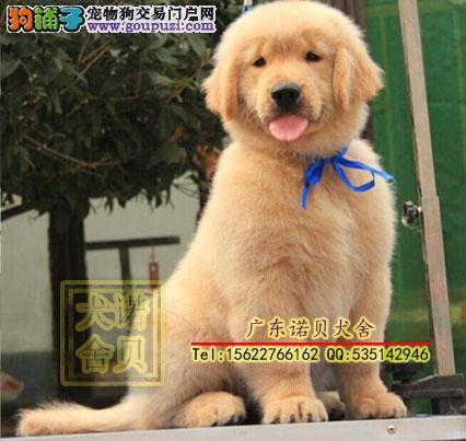 纯种金毛犬 广州本地正规金毛犬狗场直销