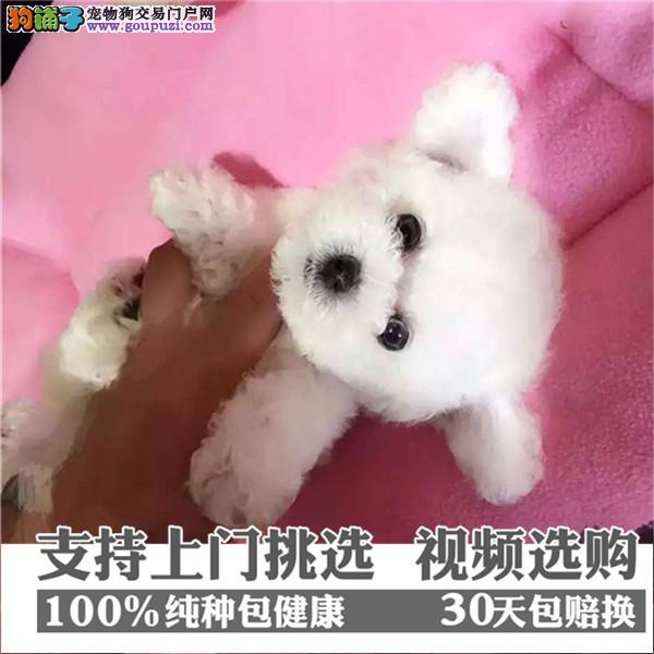 上海正规养殖基地繁殖出售纯种泰迪熊 支持送货上门
