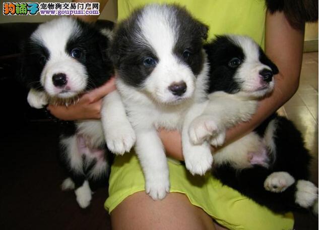 宝山区健康边境牧羊犬两三个月的小狗·赛级