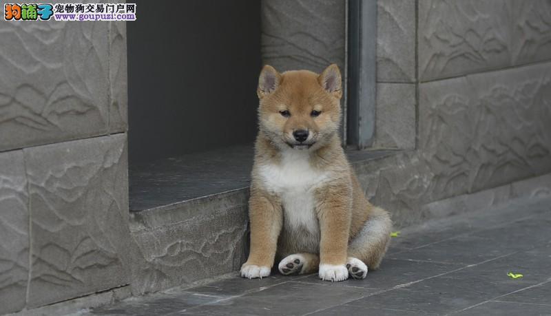 秋田犬舍出售忠犬八公原型精品日系美系秋田幼犬