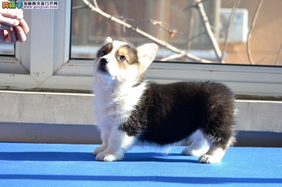 家养纯种柯基宝宝幼犬出售包健康.爱狗朋友可上门看狗