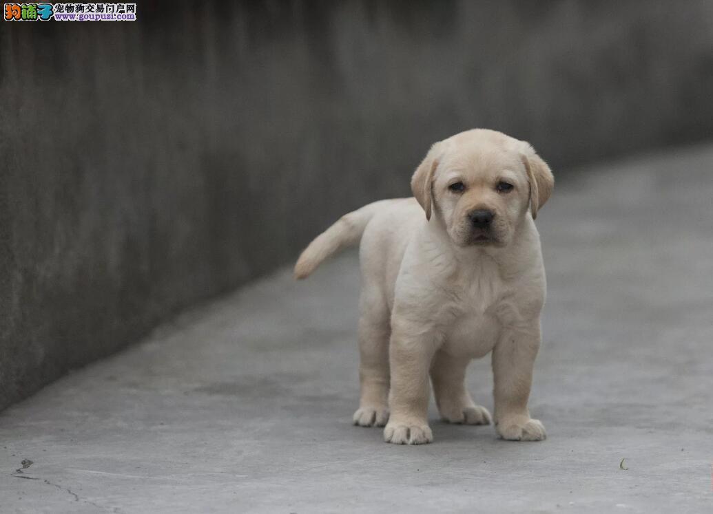 专业狗场繁殖、纯种拉布拉多犬、签协议送狗狗用品