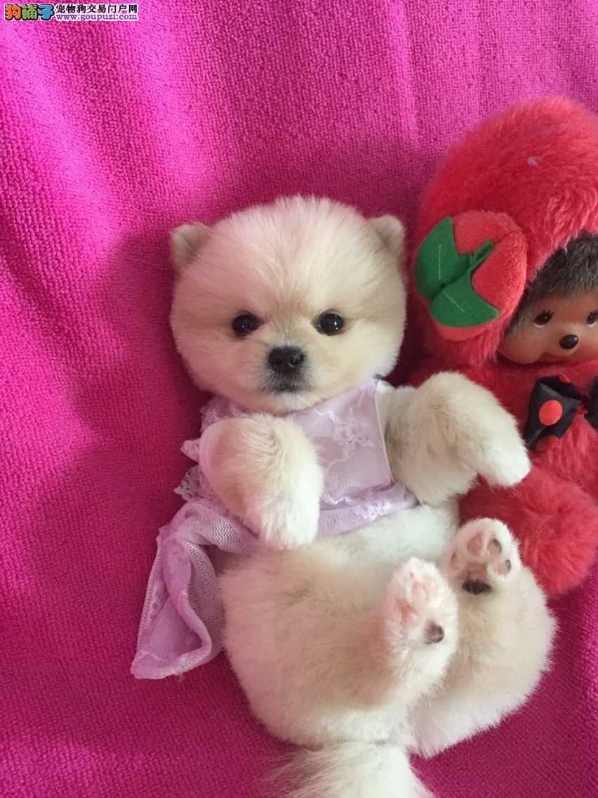 博美幼犬、哈多利球形博美、黄白俊介带血统证书幼犬