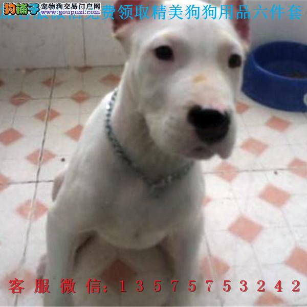 A本地犬舍直销▎纯种杜高犬▎带出生纸血统证及疫苗本