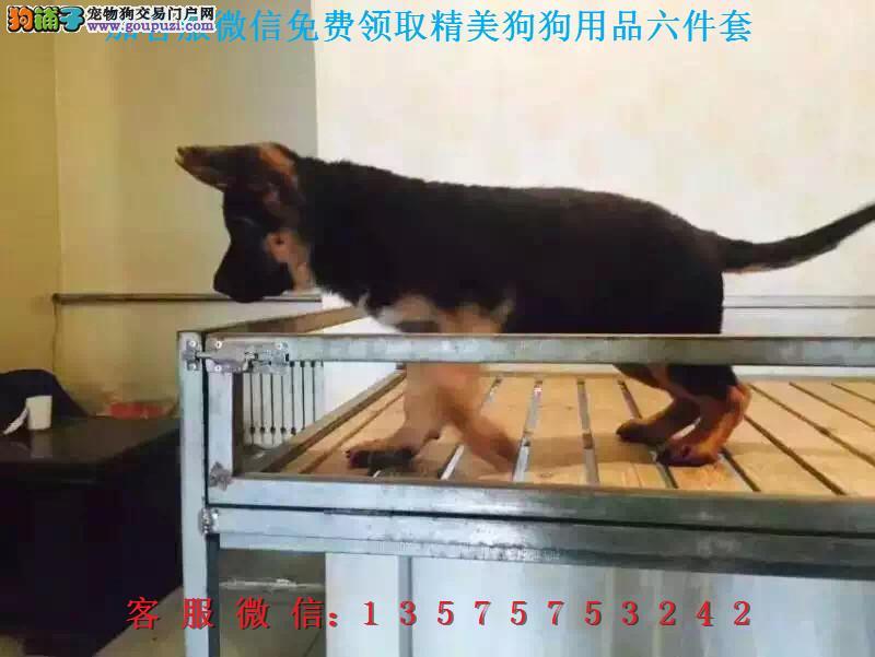 A本地犬舍直销▎纯种狼狗▎带出生纸血统证及疫苗本
