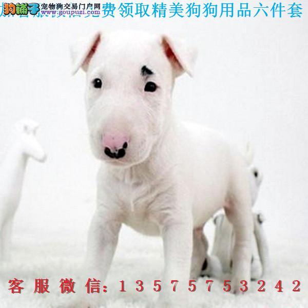 A本地犬舍直销▎纯种牛头梗▎带出生纸血统证及疫苗本