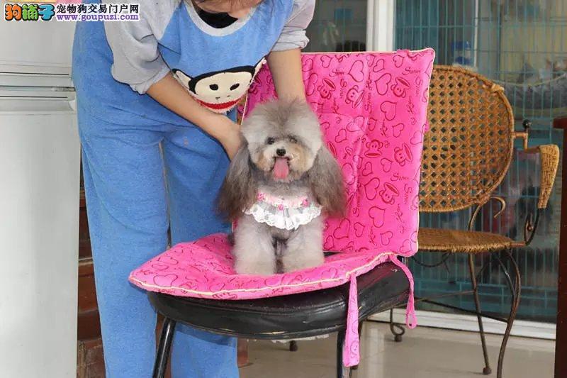 不掉毛卷毛纯种泰迪犬,高品质健康包活