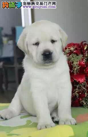 专业名犬繁殖选择我们 选择专业 精品拉布拉多幼犬