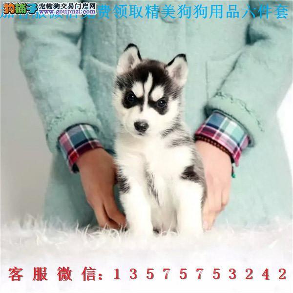 犬舍直销▎血统哈士奇 ▎带出生纸血统证及疫苗本