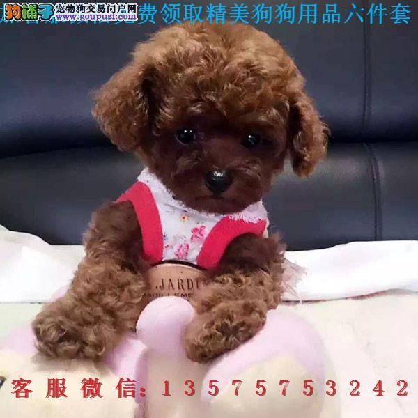 重庆犬舍直销▎纯种泰迪 ▎带出生纸血统证及疫苗本