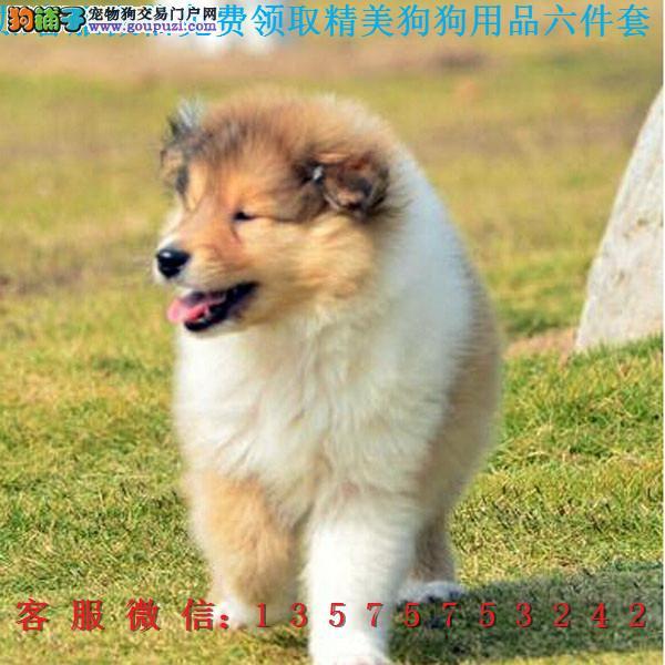 本地犬舍直销▎纯种苏牧犬 ▎带出生纸血统证及疫苗本