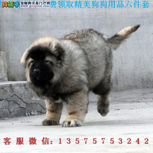 本地犬舍直销▎高加索幼犬▎带出生纸血统证及疫苗本