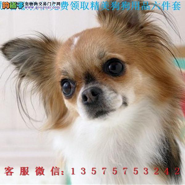 本地犬舍直销▎蝴蝶犬幼犬▎带出生纸血统证及疫苗本