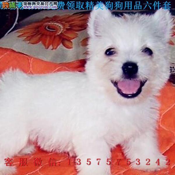 本地犬舍直销▎西高地幼犬▎带出生纸血统证及疫苗本