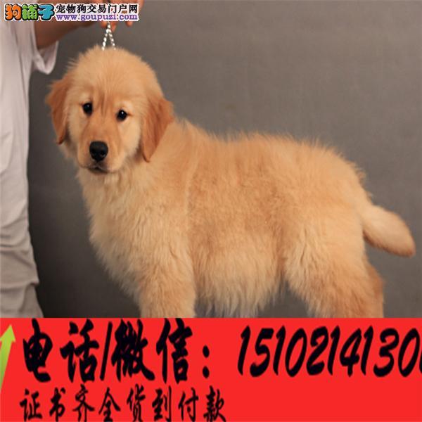 本地犬舍直销▎金毛犬幼犬▎带出生纸血统证及疫苗本