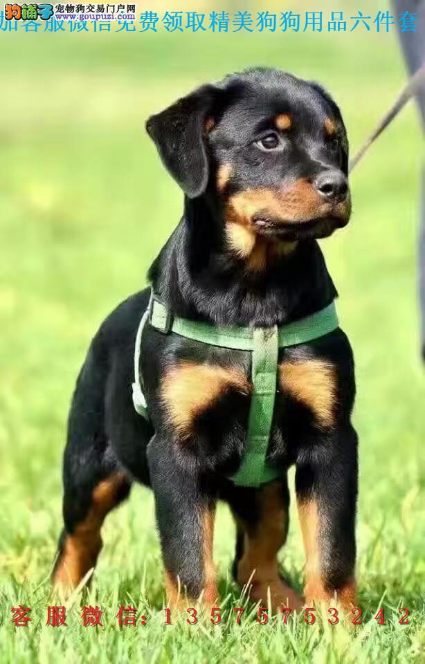 本地犬舍直销▎罗威纳犬 ▎带出生纸血统证及疫苗本