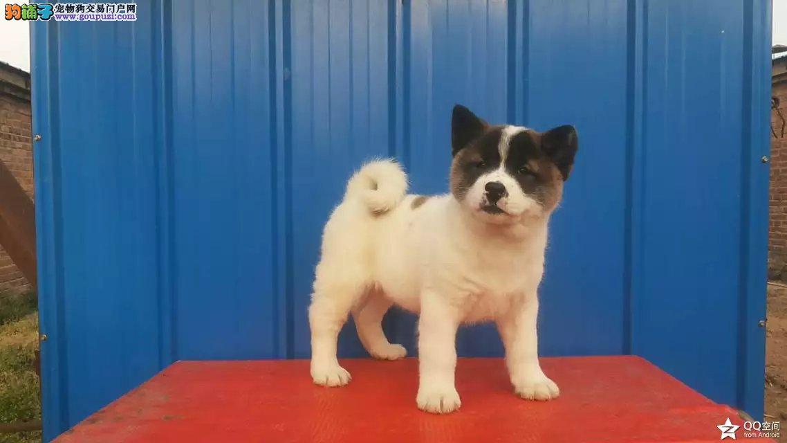 自家犬舍繁殖日系秋田犬 签协议包纯种健康