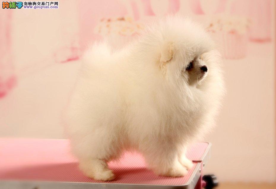 美系俊介犬 哈多利球型博美犬白富美最佳选 超萌超可爱