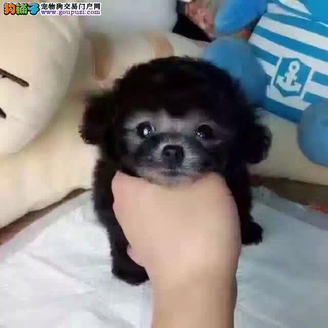 玩具茶杯卷毛纯种高品质泰迪犬