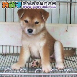 精品柴犬 日系柴犬出售 犬舍出售柴犬