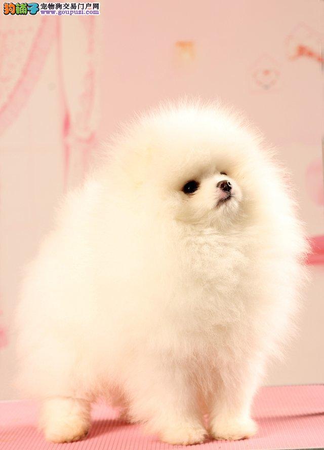 繁殖出售哈多利纯种博美犬宝宝 价格优惠多只可选