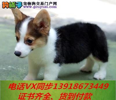 本地犬舍出售纯种柯基犬 包养活签协议可送货上门!!