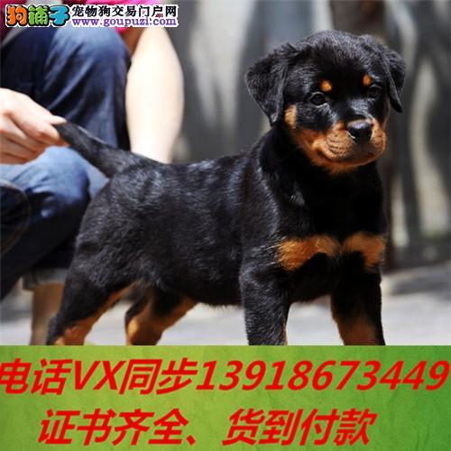 本地犬舍出售纯种罗威纳 包养活签协议可送货上门!!