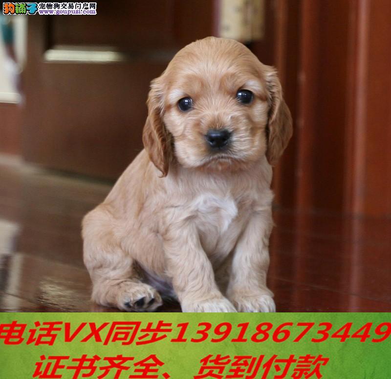 本地犬舍出售纯种可卡犬 包养活签协议可送货上门!