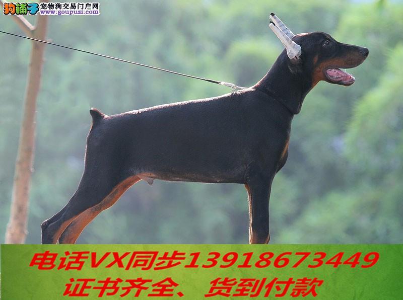 本地犬舍出售纯种杜宾犬 包养活签协议可送货上门!