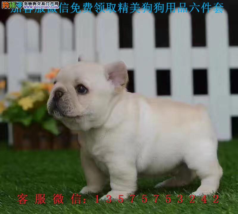犬舍直销纯种法国斗牛犬 健康可签协议带证书