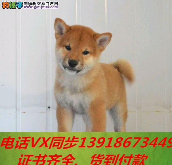 本地犬舍出售纯种柴犬 包养活 签协议可送货上门