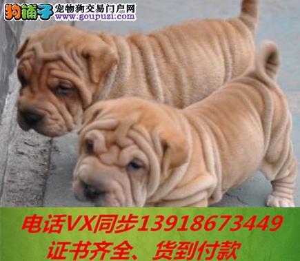 专业繁殖沙皮犬血统纯正带证书签协议包养活