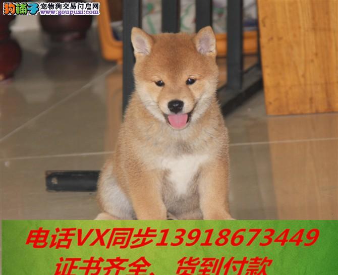 柴犬专业繁殖,血统纯正带证书签协议包养活