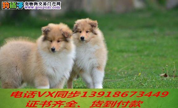纯种出售苏格兰牧羊犬当天发货可上门.视频签协议