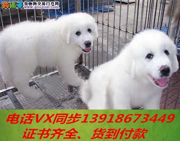 纯种出售大白熊当天发货可上门.视频签协议