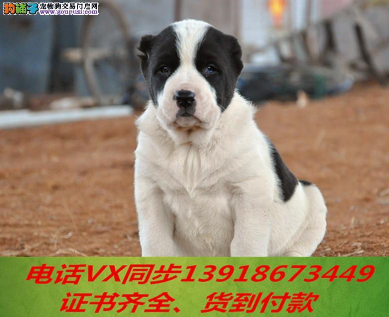 纯种中亚牧羊犬出售包养活可上门当天发货签订协议