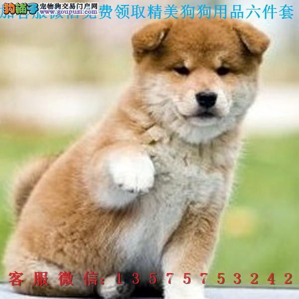 本地犬舍直销▎柴犬秋田▎带出生纸血统证及疫苗本Q