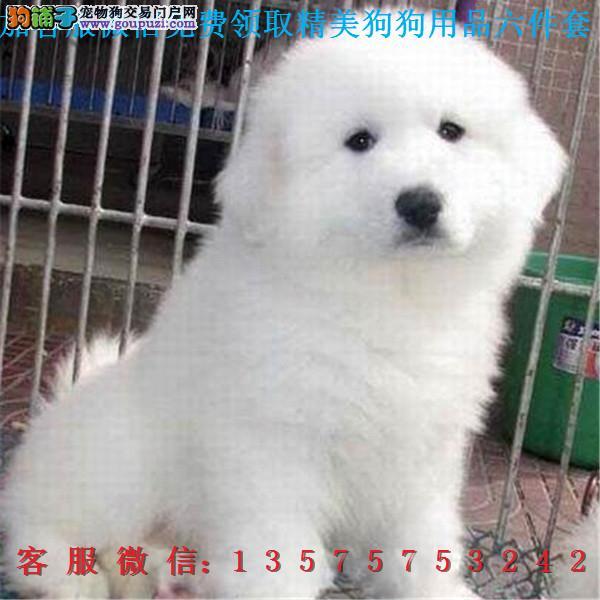 本地犬舍直销▎纯种大白熊 ▎带出生纸血统证及疫苗本Q
