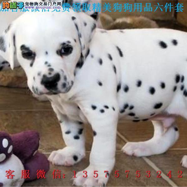 本地犬舍直销▎斑点狗▎带出生纸血统证及疫苗本c