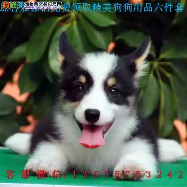 本地犬舍直销▎纯种柯基犬▎带出生纸血统证及疫苗本c