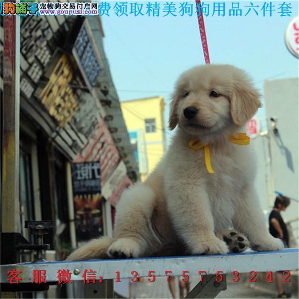 本地犬舍直销▎纯种金毛犬 ▎带出生纸血统证及疫苗本b
