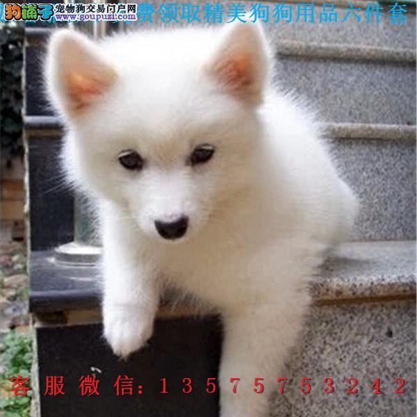 本地犬舍直销▎纯种银狐▎带出生纸血统证及疫苗本b