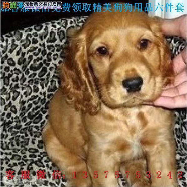 本地犬舍直销▎纯种可卡犬▎带出生纸血统证及疫苗本b