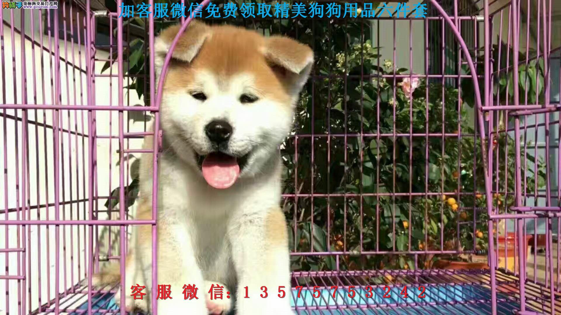 本地犬舍直销▎纯种秋田 ▎带出生纸血统证及疫苗本。