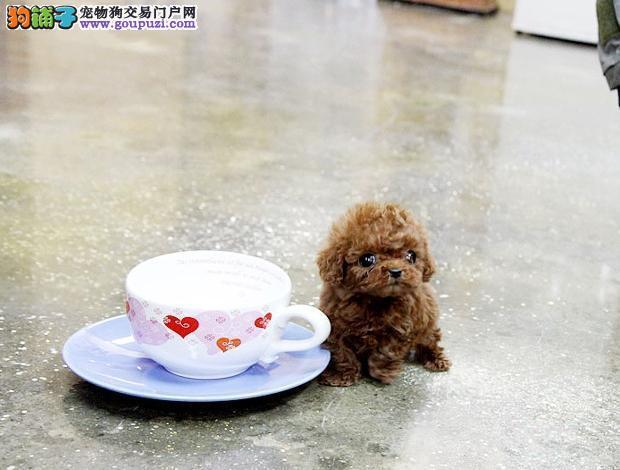 纯正血统茶杯泰迪 茶杯博美 茶杯约克夏梗 茶杯比熊