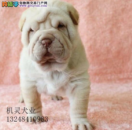幼犬国际血统认证沙皮狗幼犬公母都有 当天免费送狗