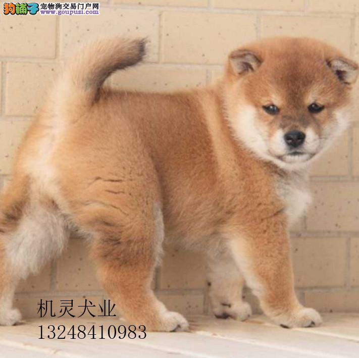 血统认证柴犬公母幼犬都有签协议自家养殖优惠
