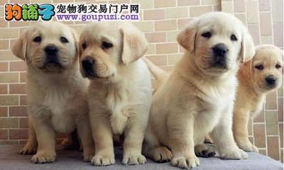 出售神犬小七拉布拉多幼犬